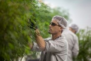 A canopy work takes clippings off of a marijuana plant to be cloned. (Jesse Costa/WBUR)