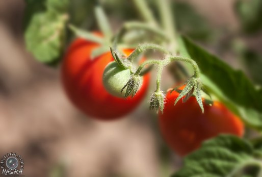 Green tomate