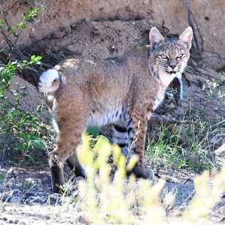 600px-Bobcat,_Benson,_AZ