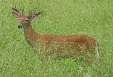 Odocoileus_virginianus_(white-tailed_deer)_10_(8270245832)