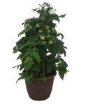 tomato-plant-wholesale-12-in