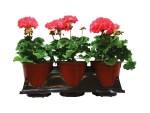 geraniums-wholesale-1-gal-planters