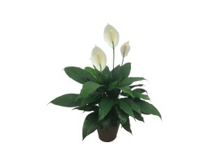 6-in-spathiphyllum-wholesale-new-mexico