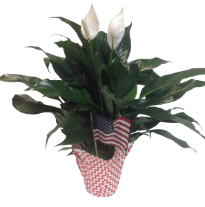 spathiphyllum-wholesale-flag-6-in