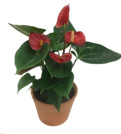 anthurium-7in-masson-farms