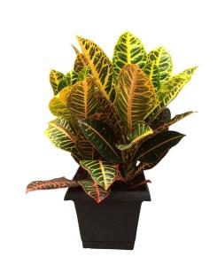croton-petra-10-in-foliage