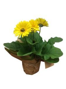 yellow-gerbera-daisy-masson-farms