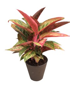 aglaonema-premium-foliage-6-in