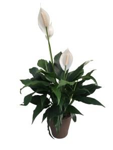 spathiphyllum-premium-foliage-6-in