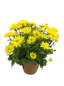 yellow-mum-masson-farms