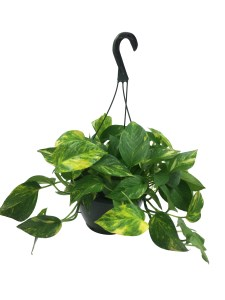 8-in-hanging-basket-golden-pothos