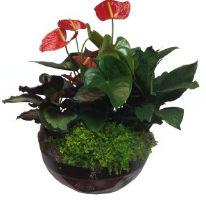 14-in-interior-garden-anthurium-masson-farms