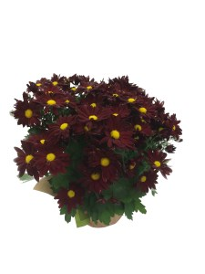 red-fall-crysanthemum-masson-farms-of-new-mexico