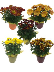 masson-farms-of-new-mexico-assorted-4.5-fall-mums