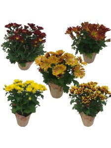 assorted-fall-mums-4.5-in-masson-farms-of-new-mexico
