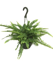 boston-fern-ariana-foliage-plant-masson-farms