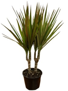 6-in-dracena-marginata