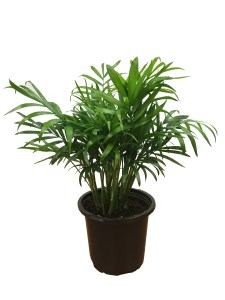 4-5-in-neanthebella-palm