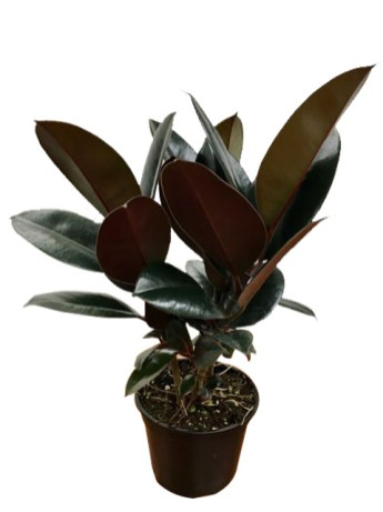 6-in-ficus-burgandy