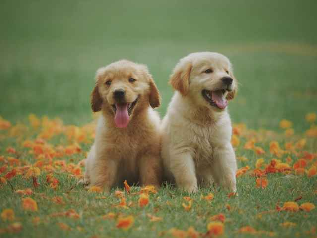 Two brown Labrador puppies sitting in the grass.