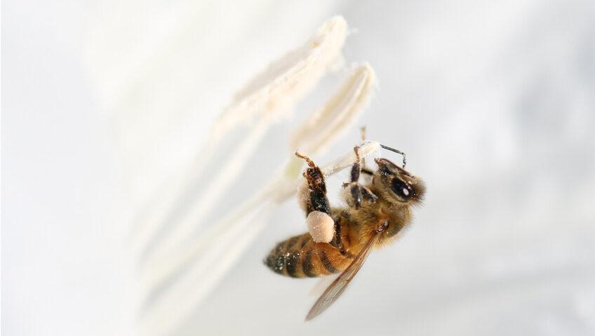 comment l abeille s envoie en l air