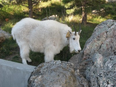 Mountain Goat @ Mount Rushmore