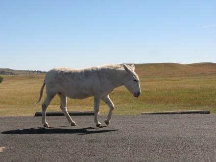 Mule @ Custer State Park