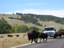 Bison @ Custer State Park