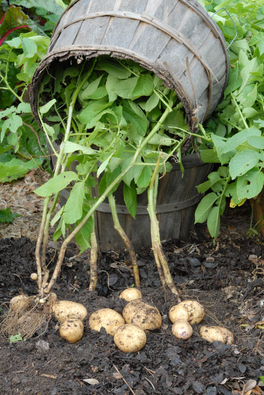 The prize – several Kennebec potatoes in the base of the basket.  Photo by Bruce Leander