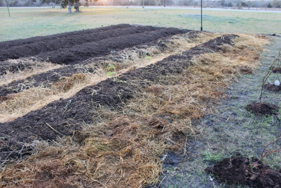 "Mulching the rows of the ""New"" garden.  If you are going to garden in blackland soil, mulching the walk pathways is an absolute must!"