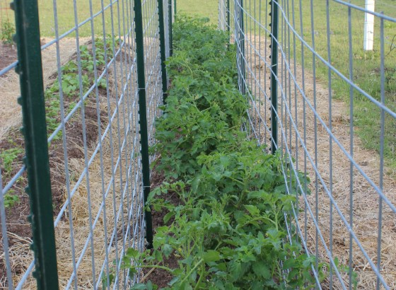 I grow my tomatoes between two rows of cattle panels