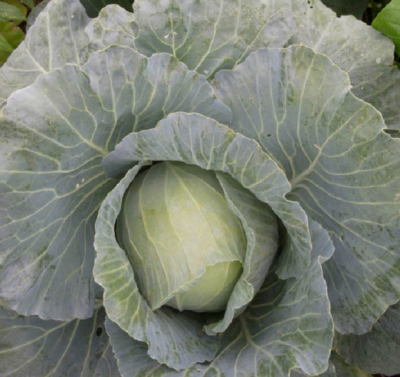 'Cheers' cabbage is a blue-green hybrid with excellent disease resistance .  All Photos by Bruce Leander