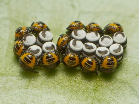 Harlequin instars – recently hatched; every female has the potential to lay another dozen eggs in less than two months
