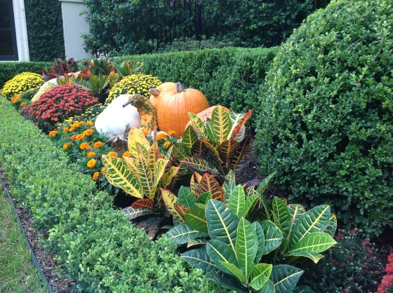 I am not particularly fond of crotons.  However, I have to admit that they were the perfect filler between the mums, marigolds, squash and pumpkins.