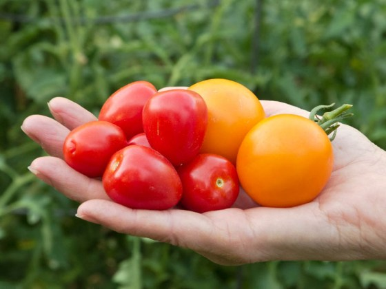 jaune_flamme_tomato