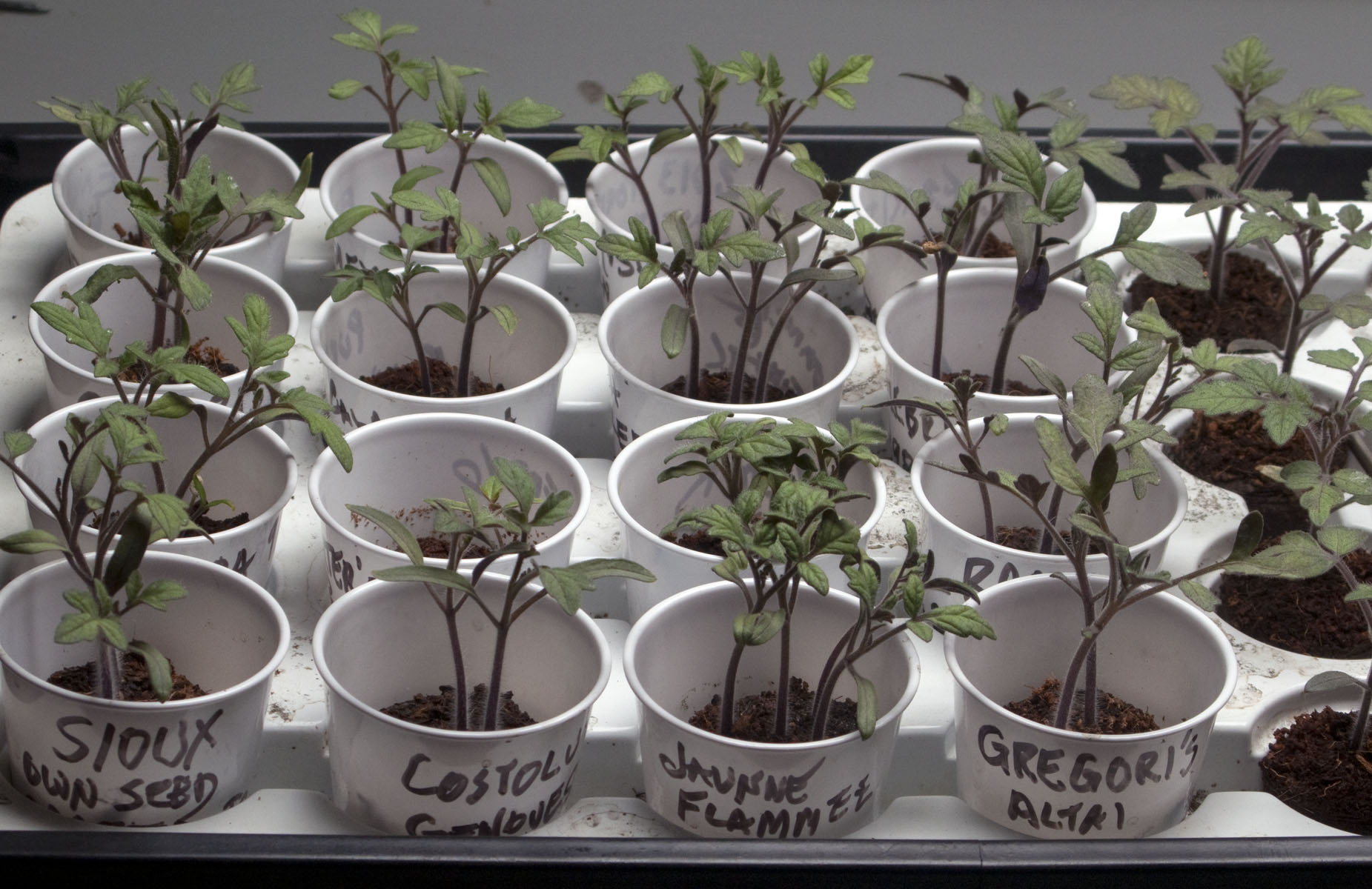 Harry Cabluck S Tips For Growing Healthy Tomato Transplants