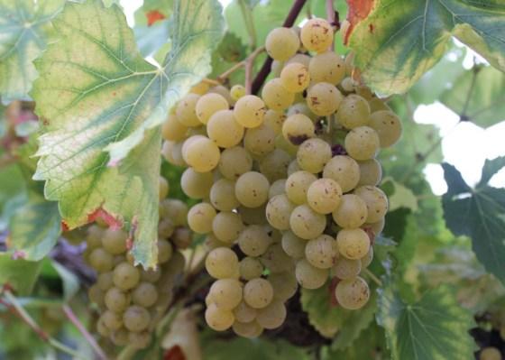 blanc-du-bois-grapes-1