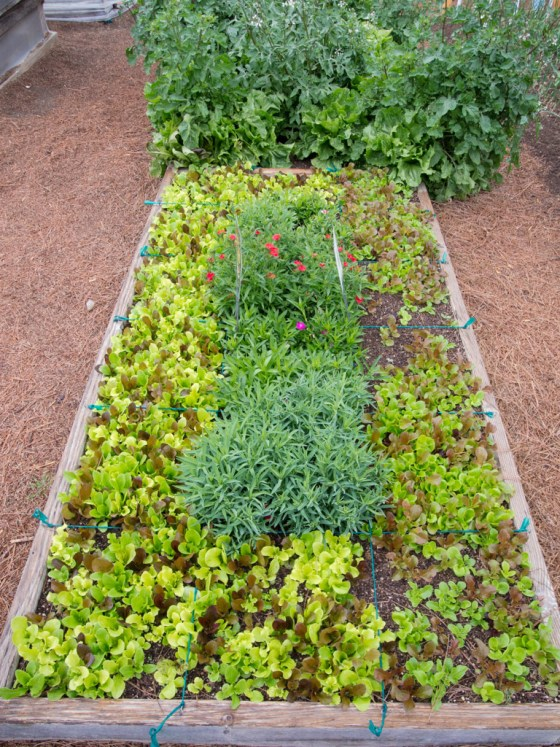 Lettuce does not compete well with weeds.  Keep your beds weed free to ensure the best quality lettuce.  Photo by Bruce Leander