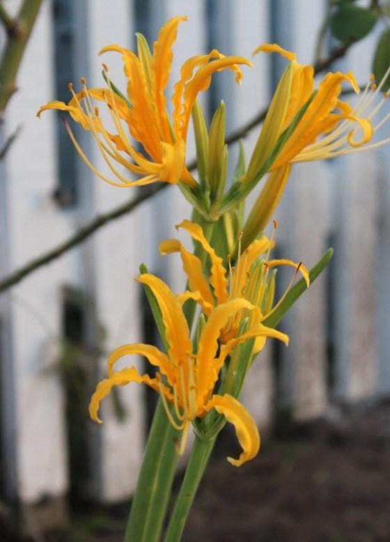 lycoris-aurea-1