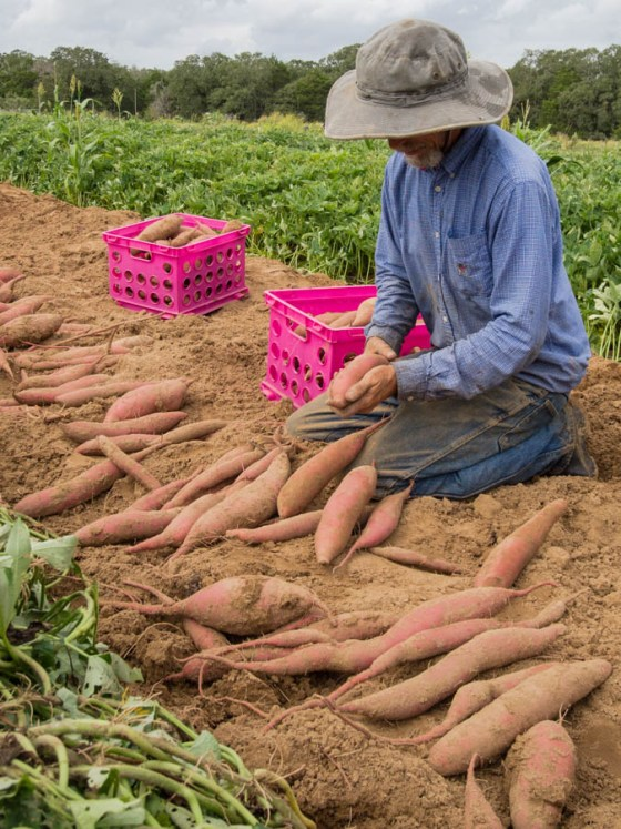 sweet-potato-harvest