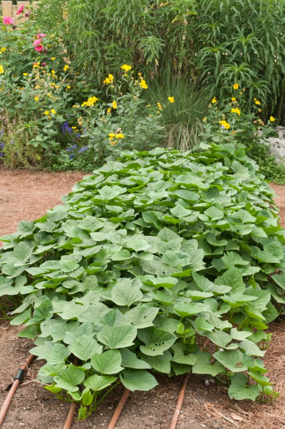 sweet-potato-vines