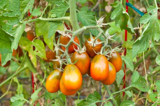 It is time to start those tomato seeds!  There is no other way to ensure you have the varieties you want when planting time comes.  Photo by Bruce Leander