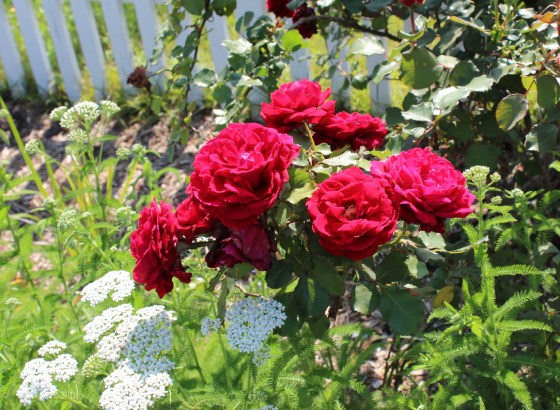 blog-Crimson_Glory_rose