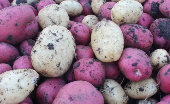 My latest garden experiment proves you can grow fall potatoes - at least in a mild winter