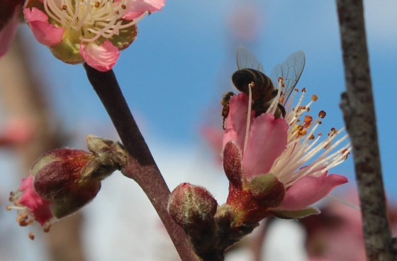 peach-bloom-bee