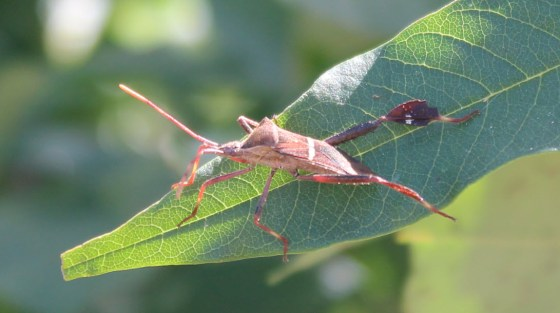 Squash bugs are hard to control.  Use a dust vac or shop vac to suck them off of your plants.  Photo by Sally White