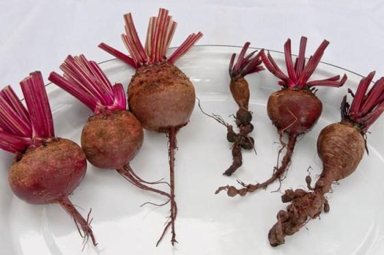 Nematode-beets