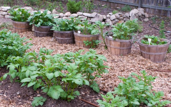 potato-containers