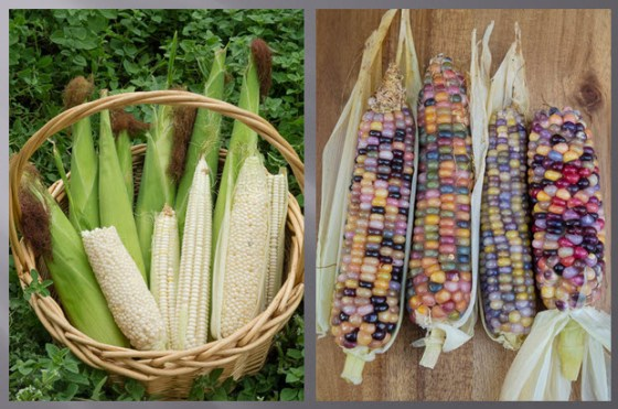 Heirloom-corn