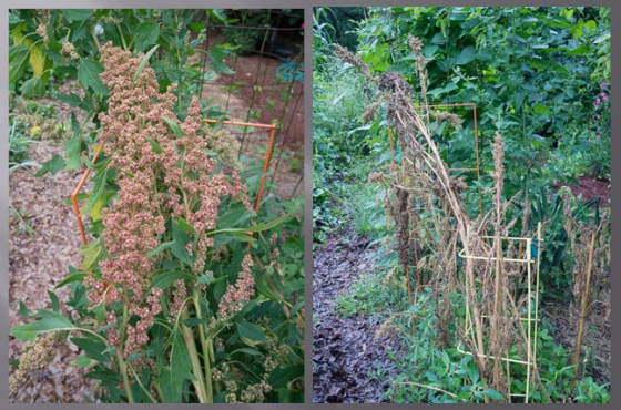 growing-quinoa
